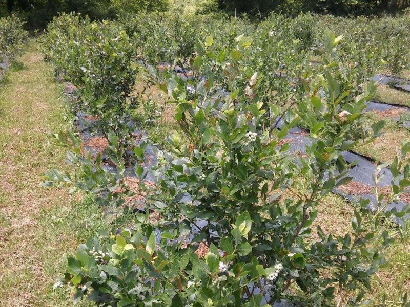 ktima e-blueberries